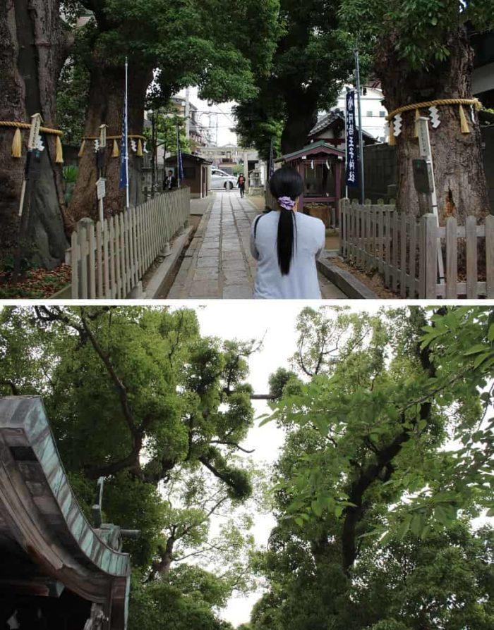 保存樹となる樹齢500年の御神木です。