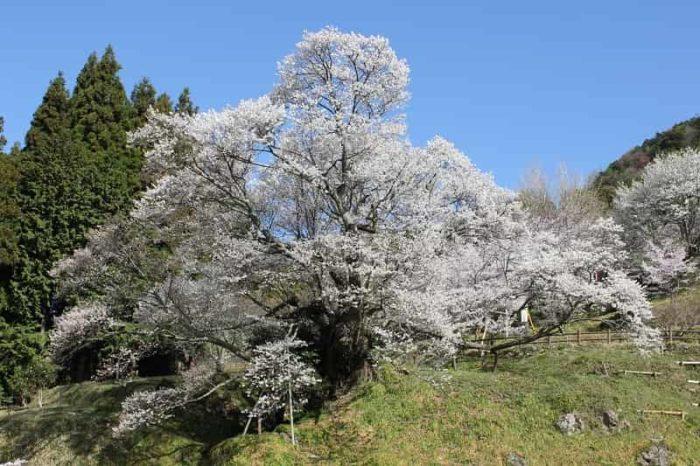 推定樹齢900年の佛隆寺の千年桜です。