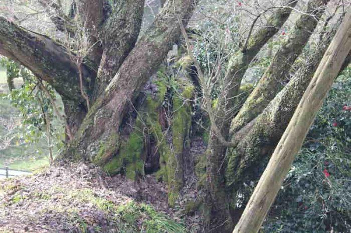 樹齢を重ねてしっかりとした根周りです。