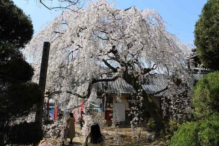 樹齢50年の地福寺のしだれ桜です。