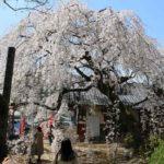 大阪屈指の地福寺のしだれ桜です。