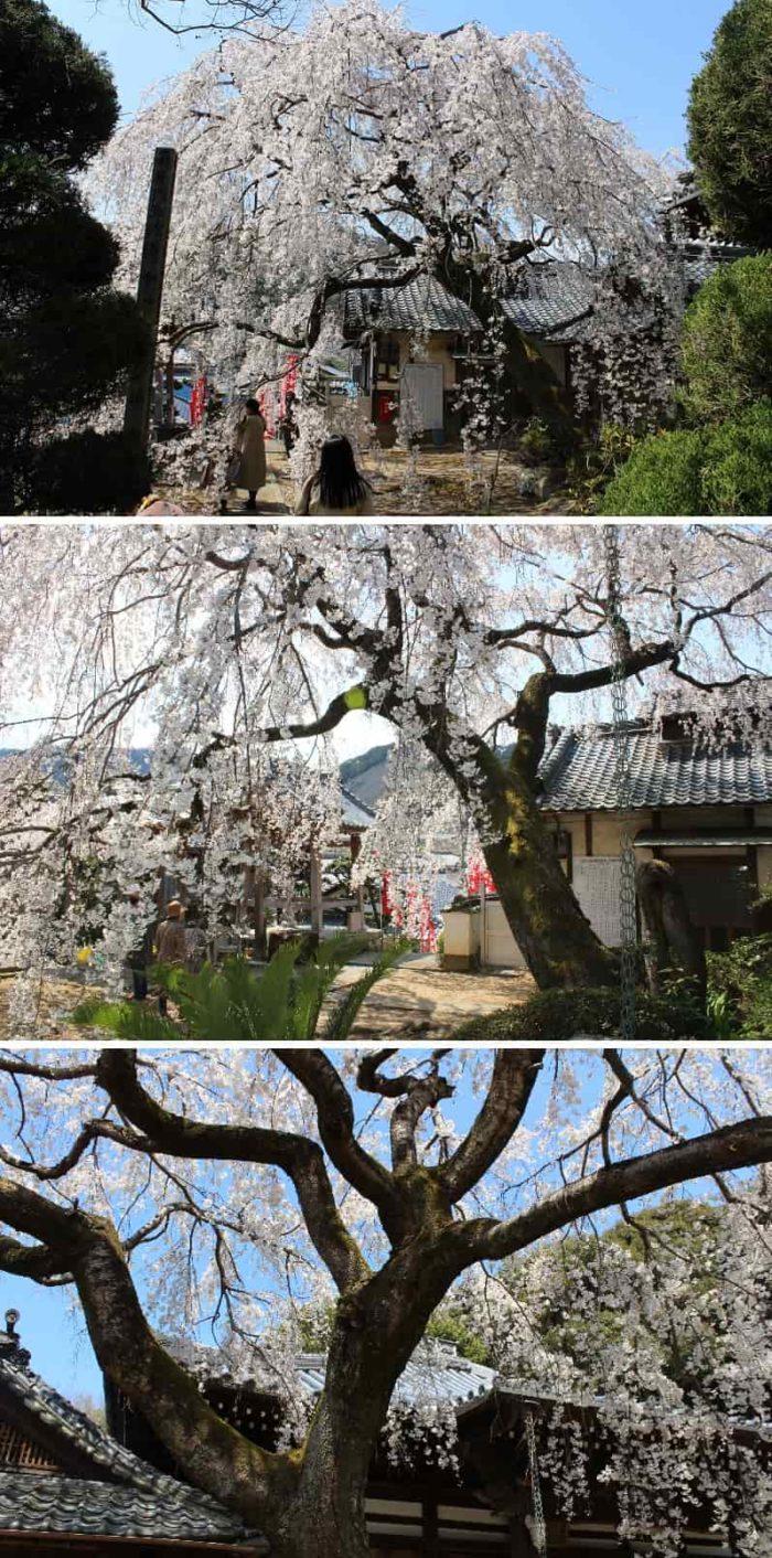 樹齢50年のしだれ桜の様子です。