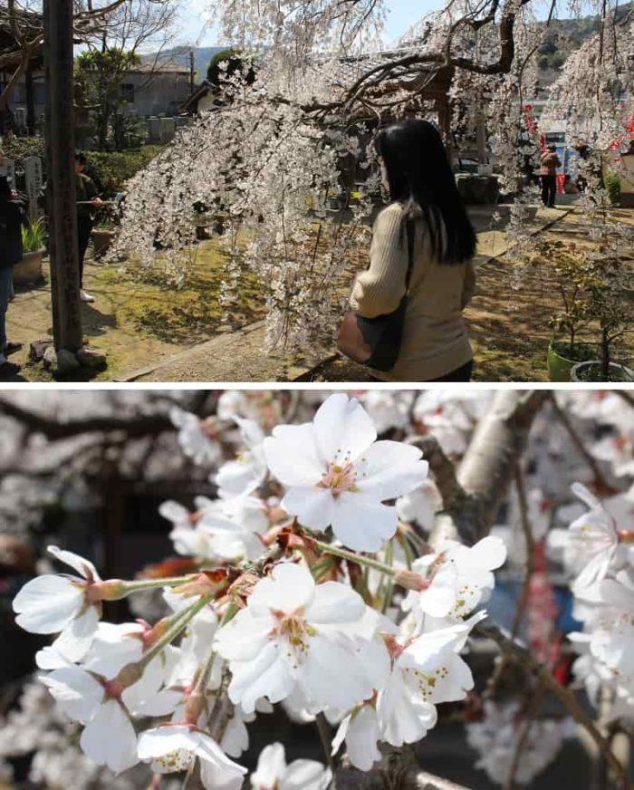 花弁は5枚で一重の綺麗な純白です。