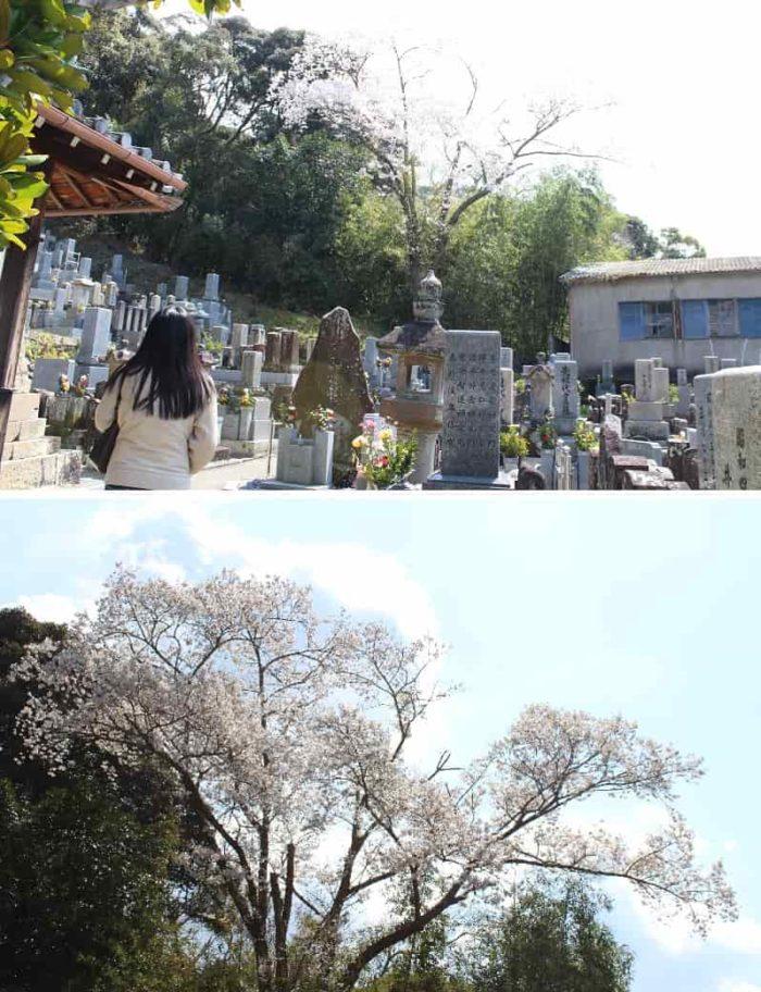 隣接するお墓の中に立つ桜の木です。