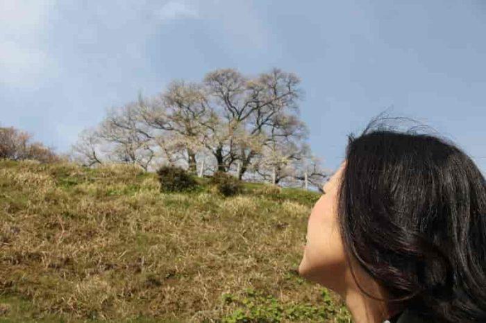 高台にそびえ立つ『醍醐桜』です。