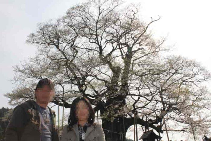 樹齢1000年の『醍醐桜』です。