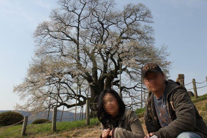 樹齢1000年以上と言われる醍醐桜です。