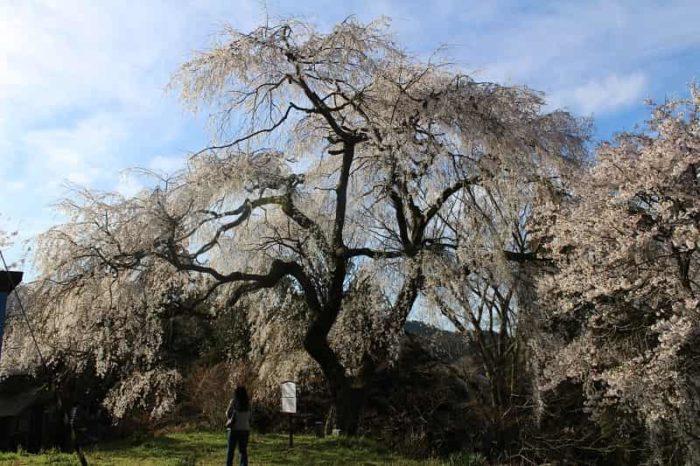 樹齢300年の大照寺跡の枝垂桜です。