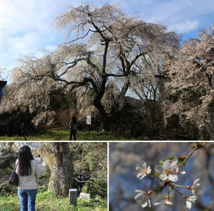 長寿の種「エドヒガンの枝垂桜」です。