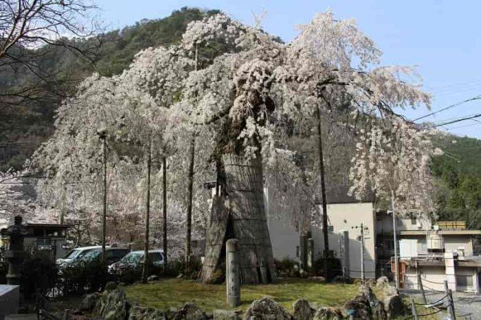 『延寿院の枝垂れ桜』です。