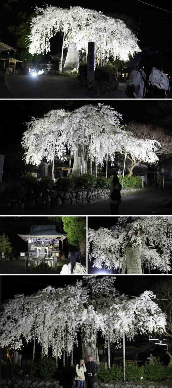 延寿院の枝垂れ桜のライトアップです。