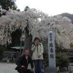 たくましくも傷だらけの名桜です。