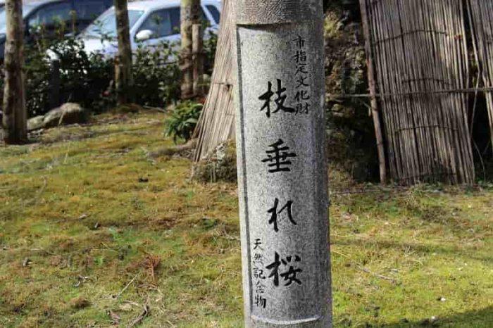 推定樹齢350年以上となる名桜です。