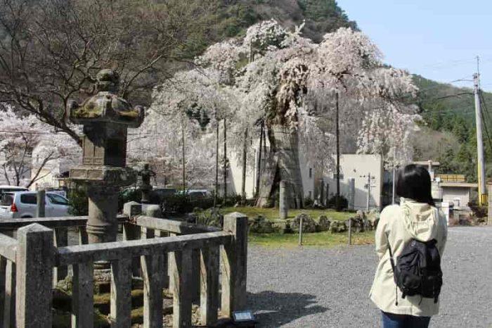 凛とした姿の『延寿院の枝垂れ桜』です。