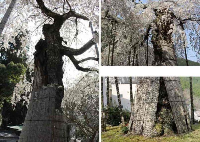 樹幹が朽腐し上部が枯損しています。