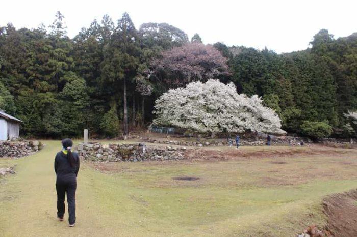 家建の茶屋跡に立ち尽くす「岩戸桜」です。