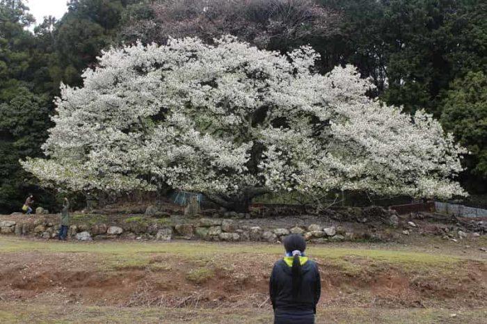 樹齢360年の一本桜の名桜「岩戸桜」です。