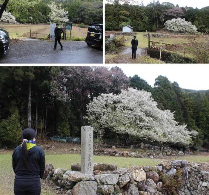 岩戸桜の観賞に向かいます。