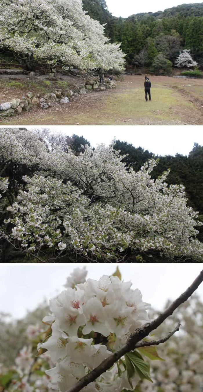 真っ白で綺麗な一重の花びらです。