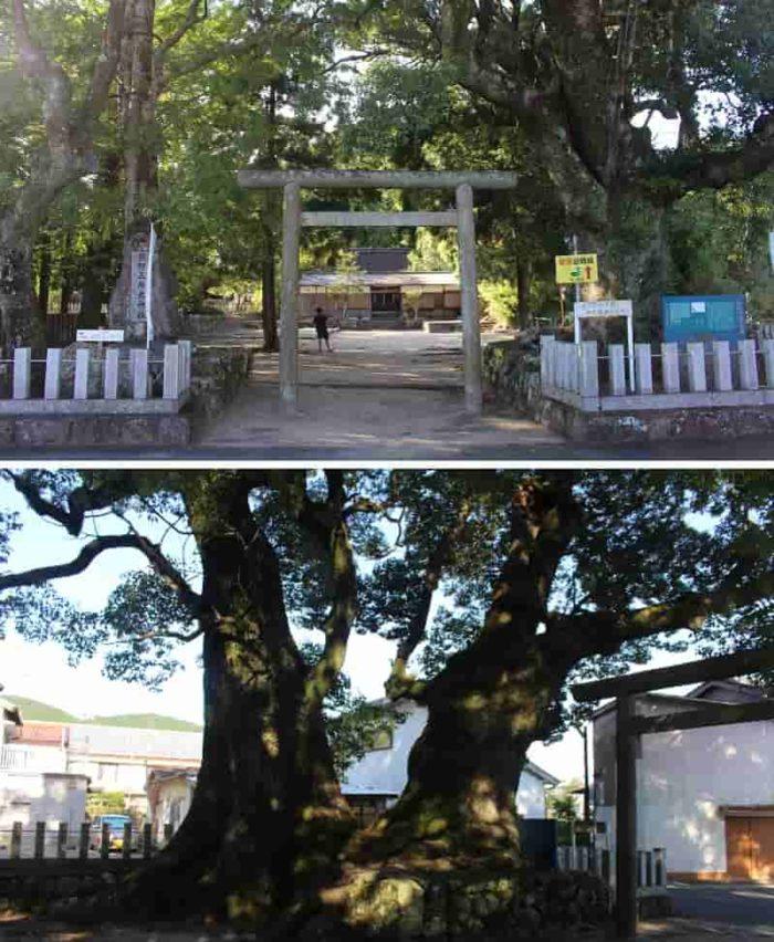 推定樹齢800年「浜ノ宮大樟」です。