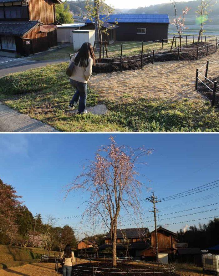 園内一大きな枝垂れ桜です。