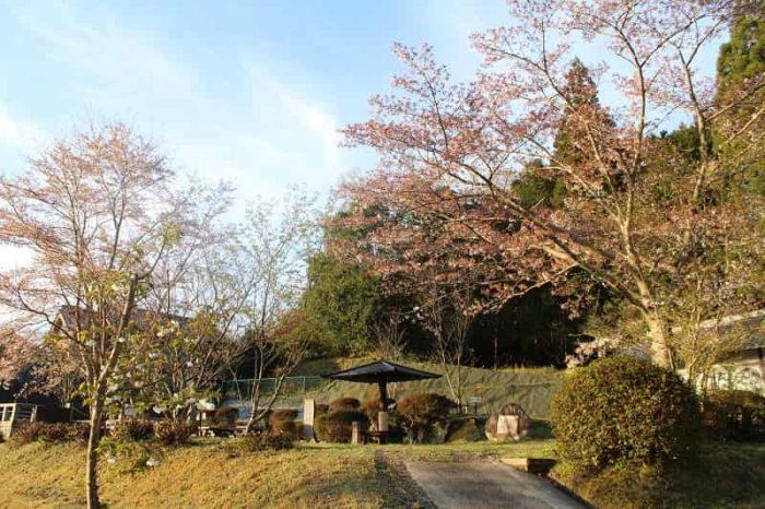 八重桜公園の桜の様子です。