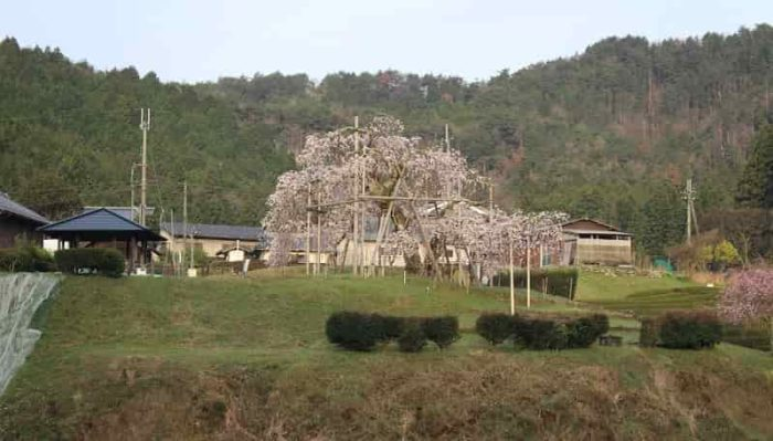 『畑のしだれ桜』です。