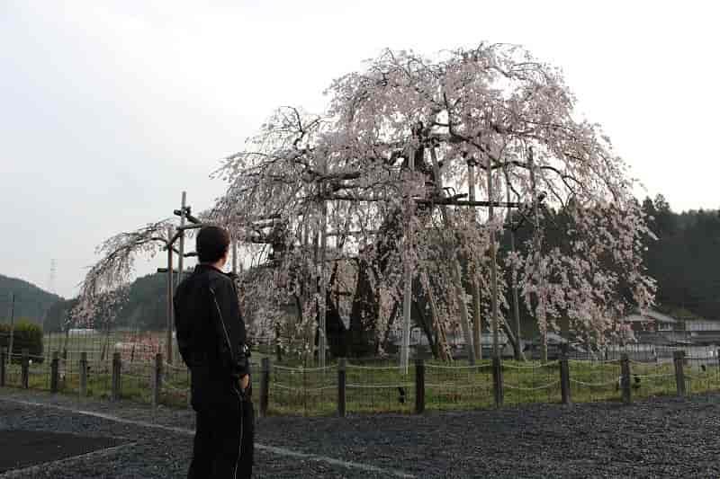 『都しだれ』こと『畑のしだれ桜』です。
