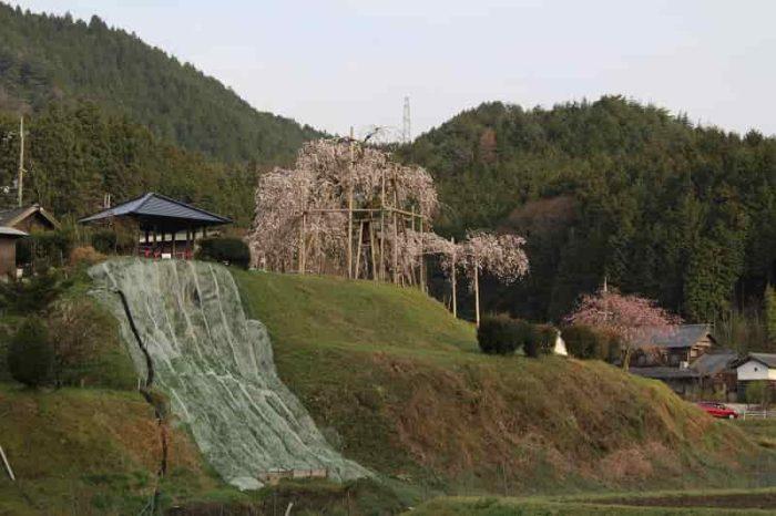 小高い丘の上に立つ『畑のしだれ桜』です。