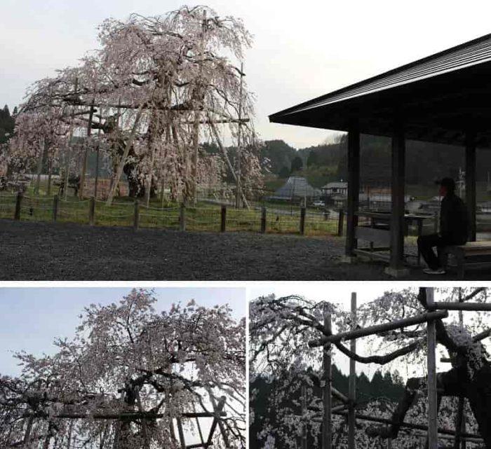 観賞スペースから眺める畑のしだれ桜です。