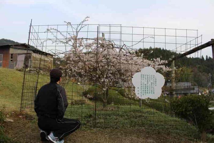 『畑のしだれ桜』の『二世』です。