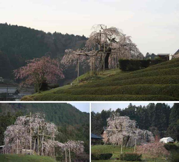 丘の下から眺めた『畑のしだれ桜』です。