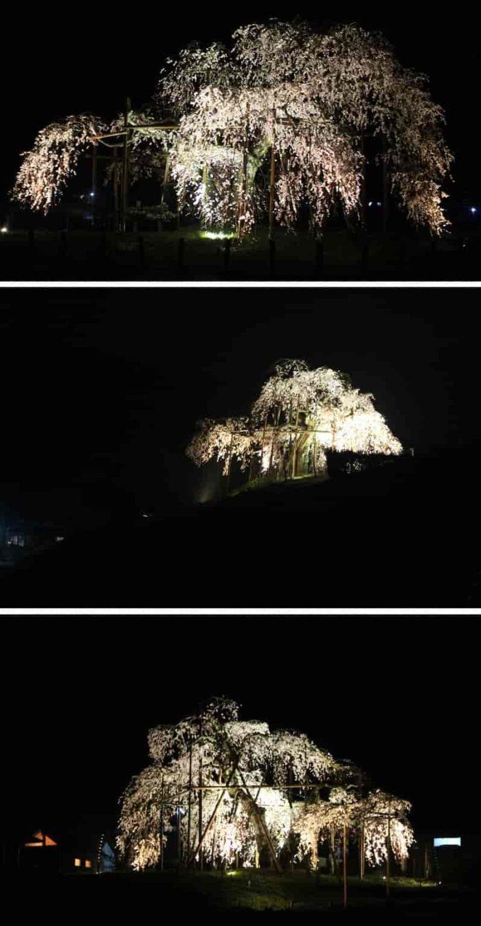 ライトアップされた『畑のしだれ桜』です。