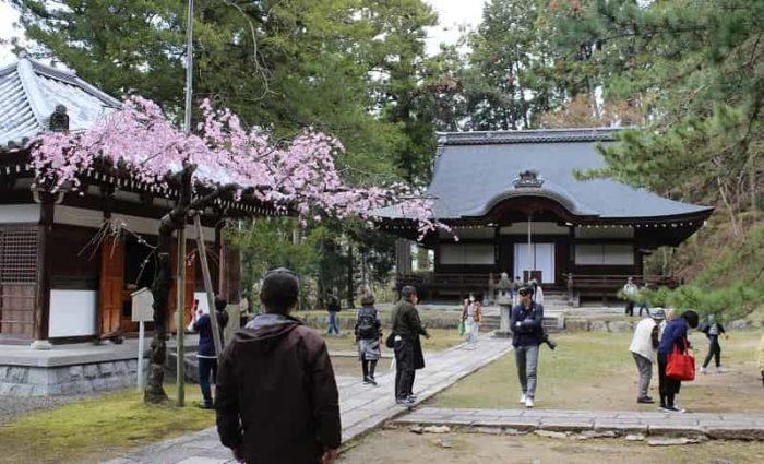 弘川寺の境内に立つ「隅屋桜」です。