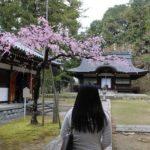 弘川寺の境内の隅屋桜です。