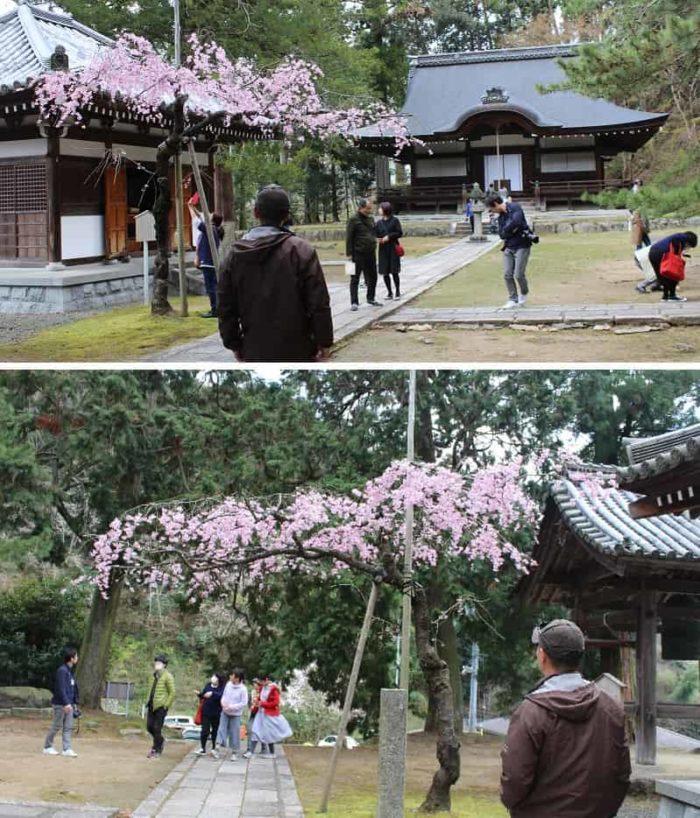 弘川寺の一本桜の名桜「隅屋桜」です。
