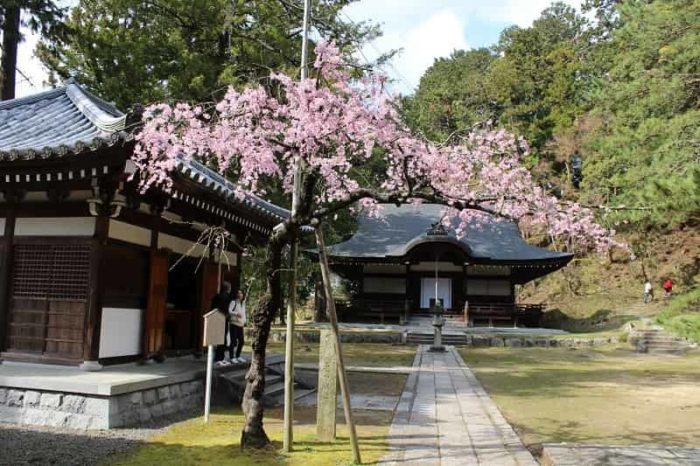 弘川寺にある小さな名桜「隅屋桜」です。