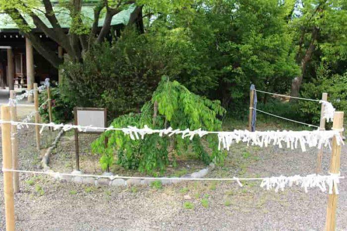 醍醐寺の大しだれ桜の苗木です。