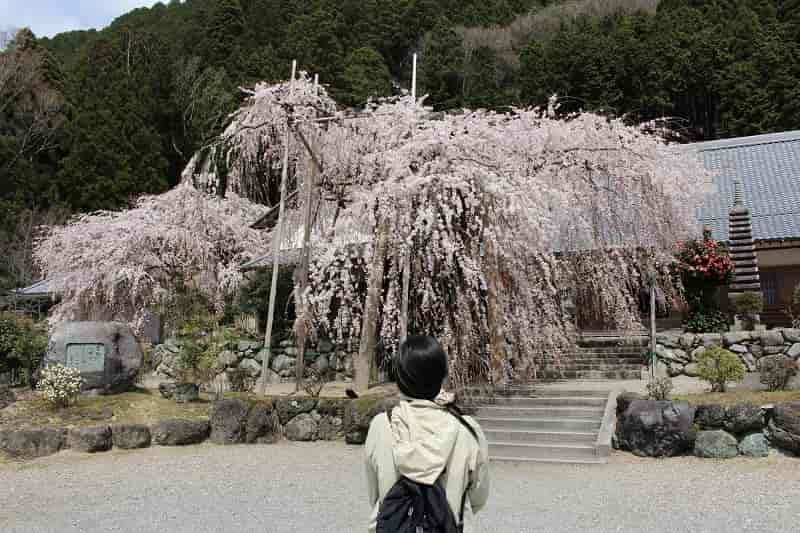 一本桜『宝蔵寺の枝垂れ桜』です。