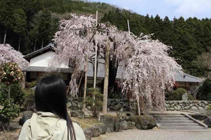 樹齢430年の『エドヒガン』の名桜です。