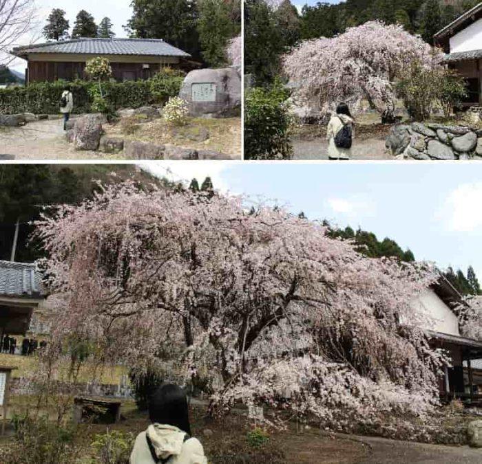 宝蔵寺の枝垂れ桜の『第二世』です。