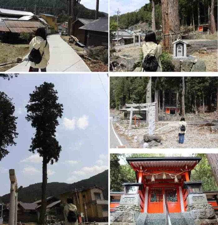 木津八坂神社に立つ杉の『御神木』です。