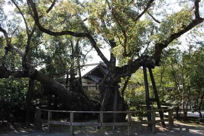 火除橋の右手側にある『清盛楠』です。