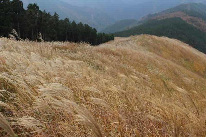 岩涌山山頂のススキの草原です。