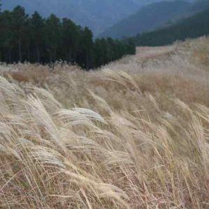 岩涌山の山頂「ススキの草原」です。