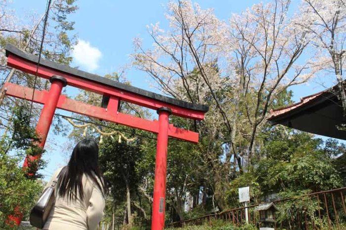樹齢400年の名桜「慈眼院の姥桜」です。