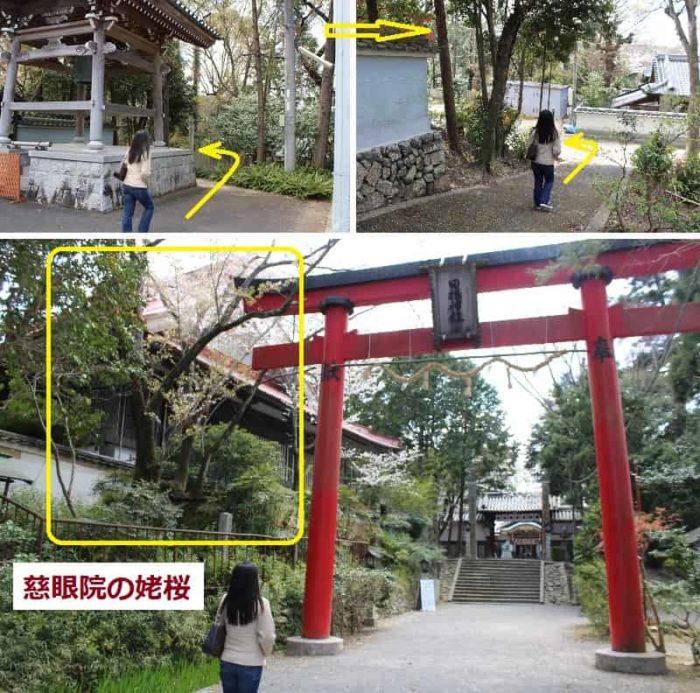 朱色の鳥居の左手側に立つ姥桜です。