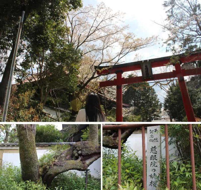 日根神社の参道より望む姥桜です。