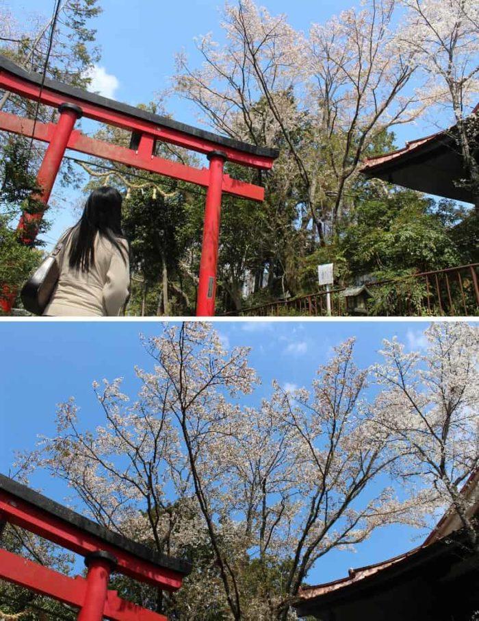 姥桜の樹姿は天に向かって伸びます。