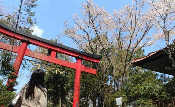 朱色の鳥居越しに望む慈眼院の姥桜です。